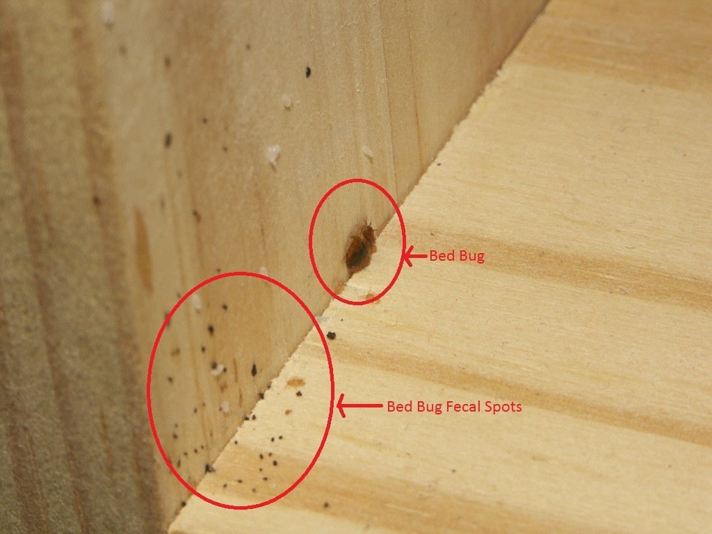 7 Tips To Control Bed Bugs My Decorative in measurements 1024 X 768