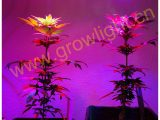 Led Grow Lampen Test 473532 Led Grow Lampen Test 2015 with dimensions 800 X 1040